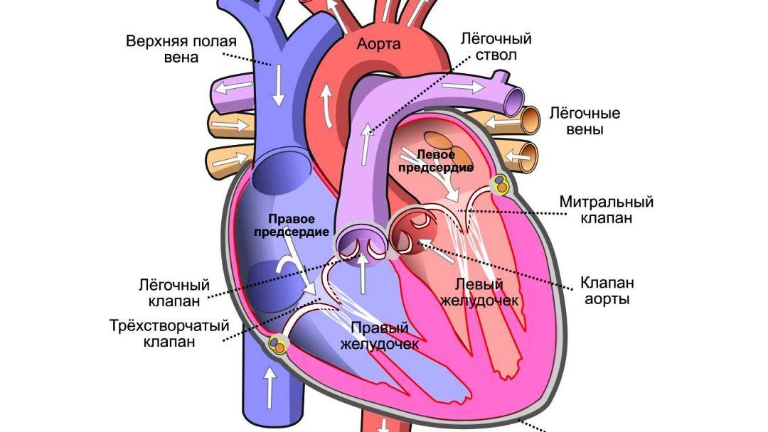 искусственное сердце цена - LVAD